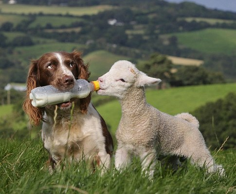 Amazing-Picture-Shows-a-Sheepdog-Feeding-an-Orphaned-Lamb-2